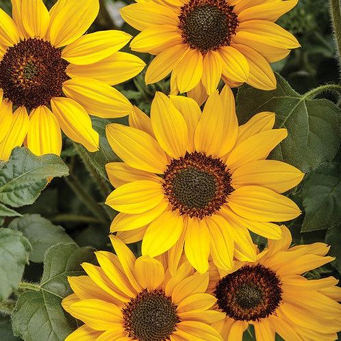 Helianthus Suncredible Yellow Sunflower
