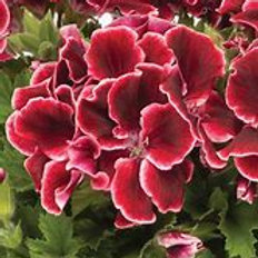 Geranium Regal Aristo Red Beauty (Martha Washington)