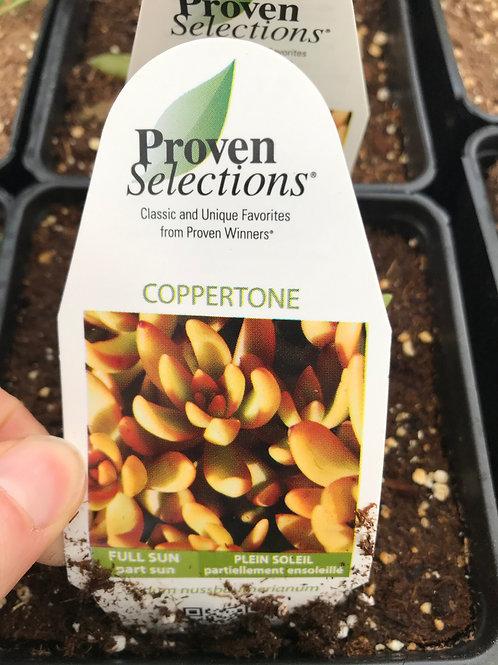Coppertone Succulent