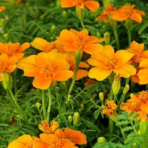 Marigold Tangerine Gem