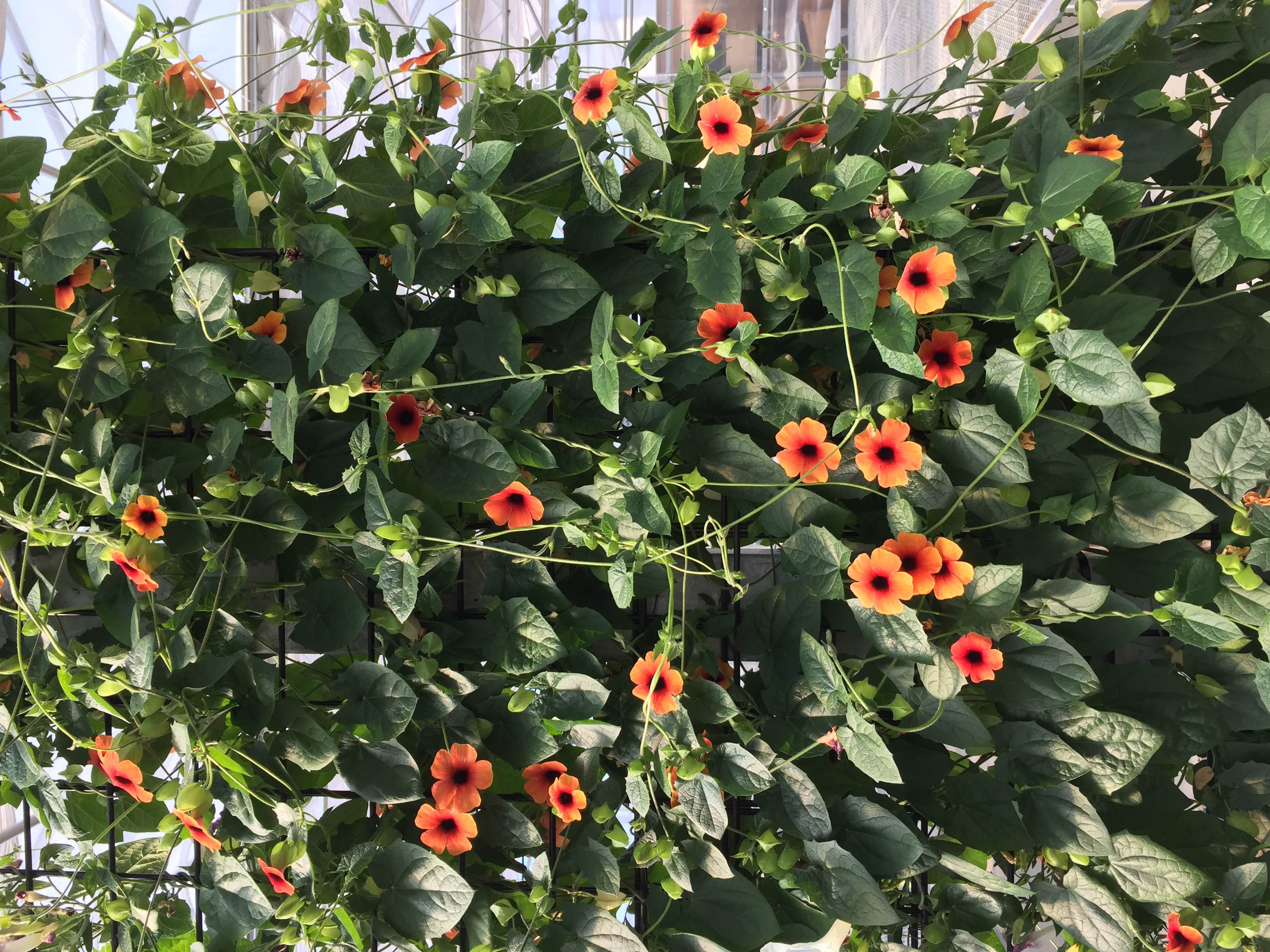 Thunbergia Arizona Red Orange