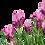 Thumbnail: Lavandula Lavender Libelle Compact Rose