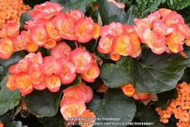 Reiger- Carmeval Begonia