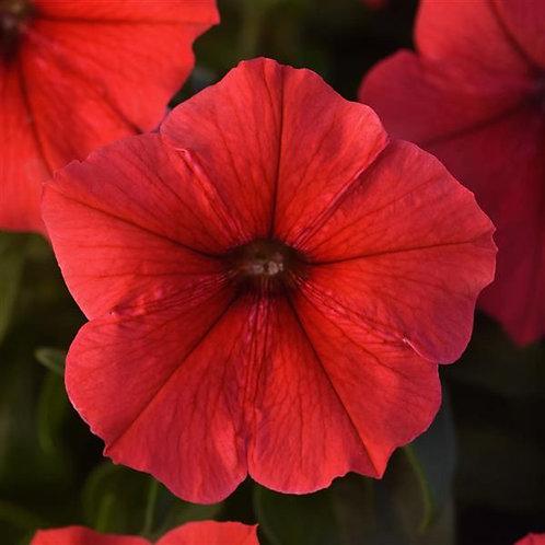 Petunia Madness Red