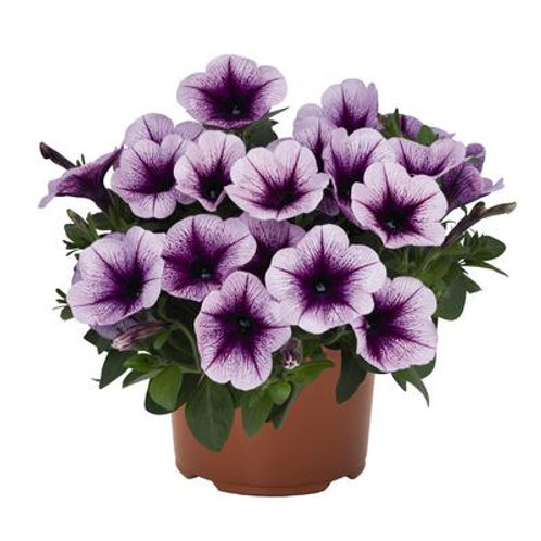 Durabloom Blue Vein Petunia