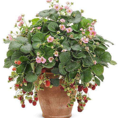 Strawberry Berried Treasure Pink (Proven Winners)