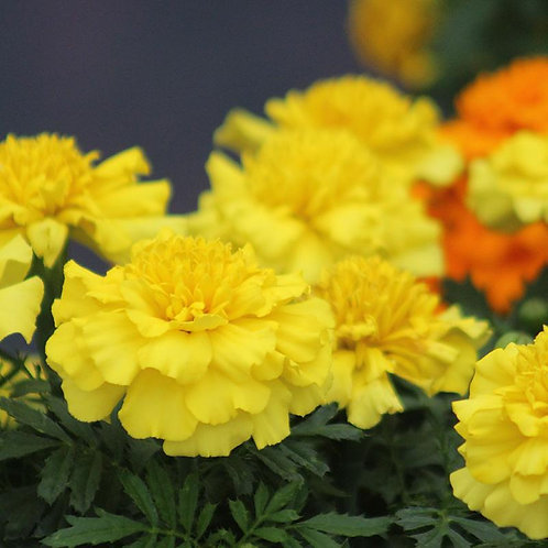 Marigold Super Hero Yellow