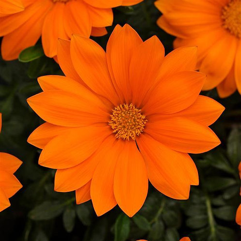 Gazania New Day Orange