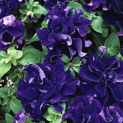 Double Cascade Blue Petunia (6 pack)