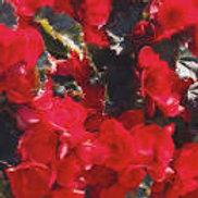 Reiger- Vermillion Red Begonia
