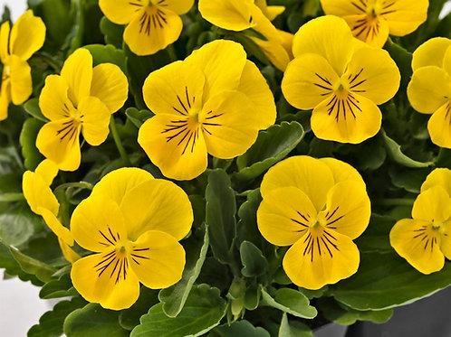 Admire Yellow Viola