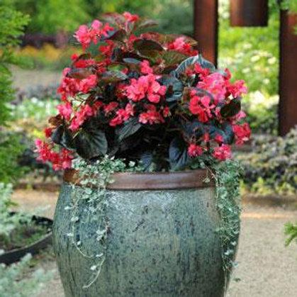 Whopper Rose Bronze Landscape Begonia