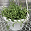 "Thumbnail:  ""String of Beans"" Succulent - 6"" Hanging Basket"