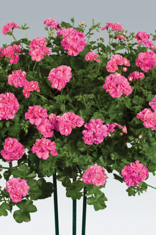 Geranium Ivy Dandy Pink Rose