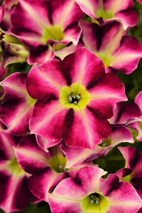 Petunia Crazytunia Star Fruit