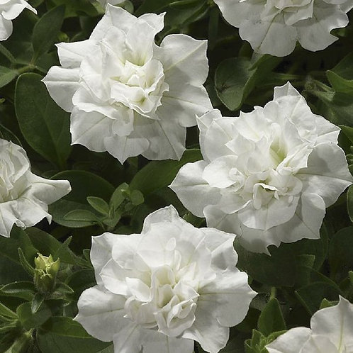 Double Wave White Petunia