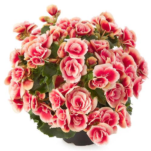 Reiger Begonia Borias