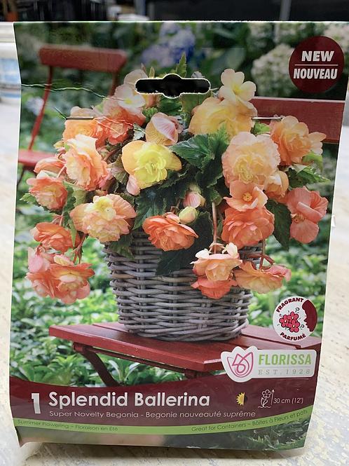 Splendid Ballerina Tuberous Begonia Bulb