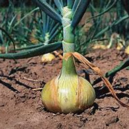 Walla Walla Onion ( 100 plants/flat)