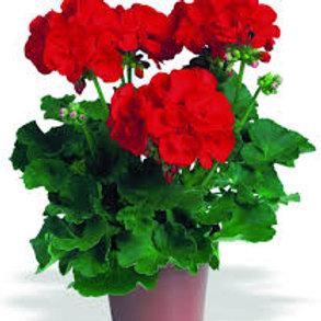 Geranium Zonal Elanos Bright Red