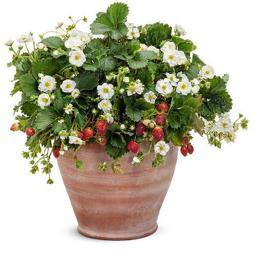 Strawberry Berried Treasure White (Proven Winners)
