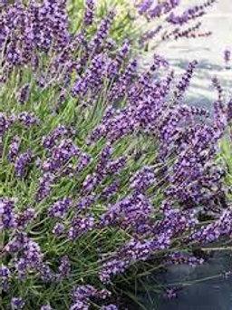 Lavender Forever Blue