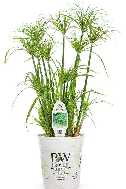Cyperus Prince Tut Grass