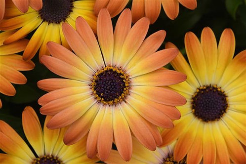 Osteospermum Sunshine Beauty