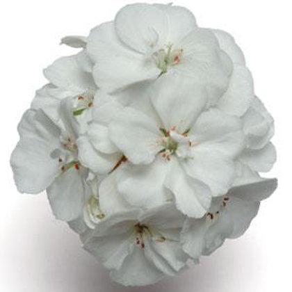 Geranium Zonal Fantasia White