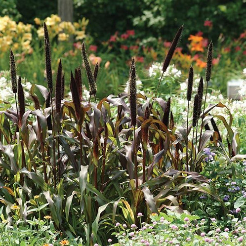 Ornamental Millet Jester Grass