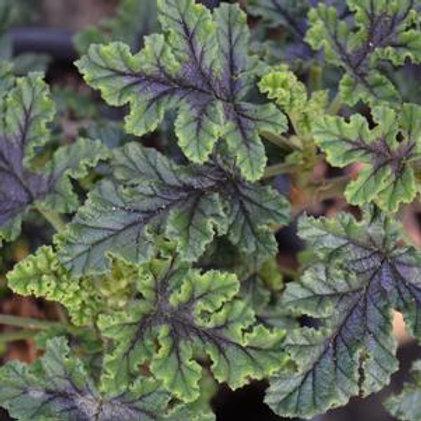 Geranium Aroma Quercifolia