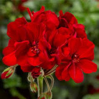 Geranium Zonal Boldly Dark Red