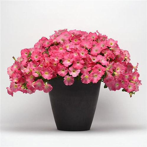 Easy Wave Rosy Dawn Petunia