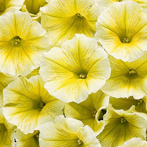 Petunia Supertunia Limoncello