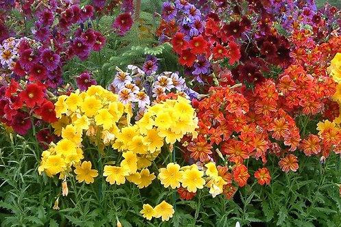 Salpiglossis Velvet Flower Royal Mixture