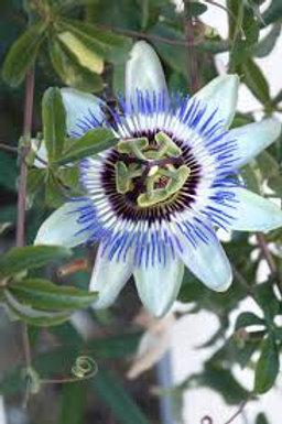 Passion Flower Blue On Trellis