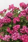 Geranium Ivy Dandy Merlot Mex