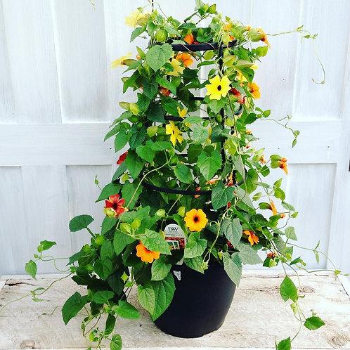 Thunbergia Trellis Planter