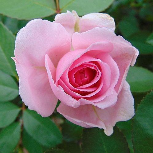 Hardy Rose Prairie Joy