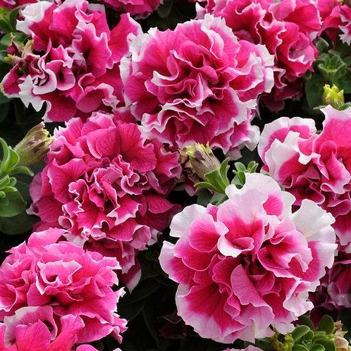 Petunia Double Rose Pirouette