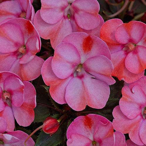 Sunpatiens Compact Pink Candy