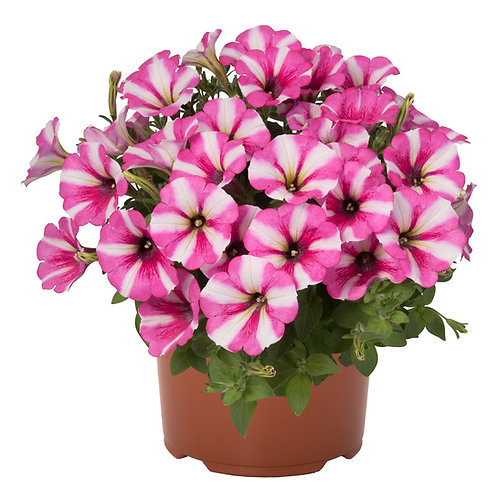 Petunia Surprise LovePink