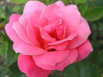 Hardy Rose De Montarville