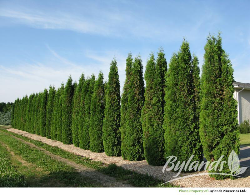 Skybound Cedar