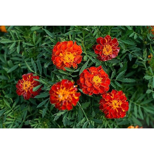 Marigold Safari Red