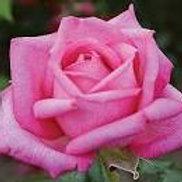 Tender Rose Wedding Bells