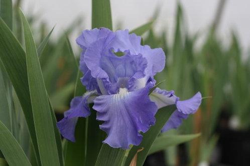 German Iris Batik