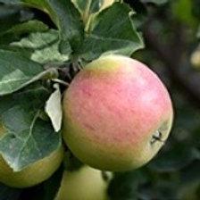 Dwarf Goodland Apple