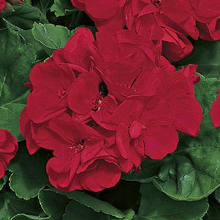 Geranium Zonal Americana Dark Red