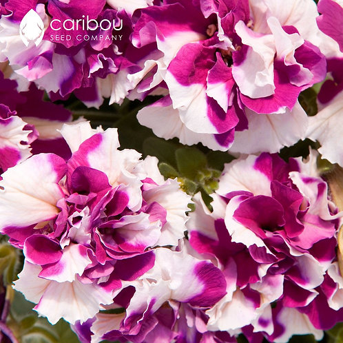 Double Cascade Rose Pirouette Petunia (6 pack)